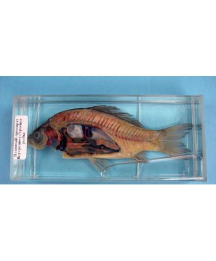"""Влажный препарат """"Внутреннее строение рыбы"""""""