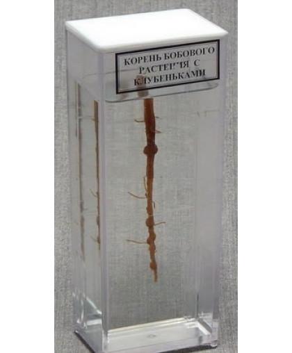 """Влажный препарат """"Корень бобового растения с клубеньками"""" цена — 1 824.00 р. руб. ВЛАЖНЫЕ ПРЕПАРАТЫ со склада во Владивостоке"""