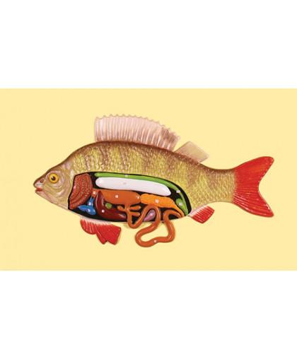 """Барельефная модель """"Внутреннее строение рыбы"""""""
