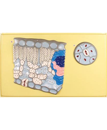 """Барельефная модель """"Клеточное строение листа"""""""