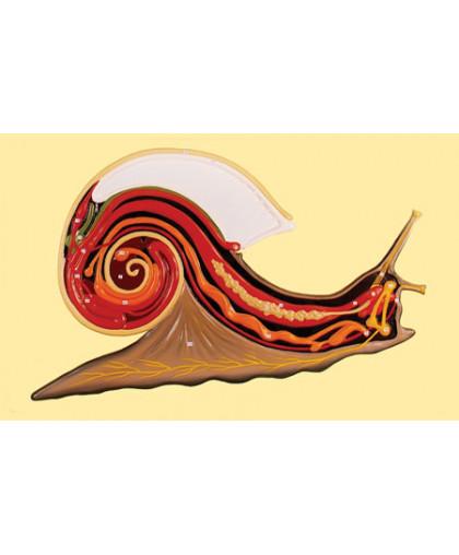 """Барельефная модель """"Внутреннее строение брюхоногого моллюска"""""""