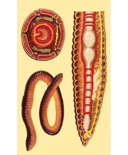 """Барельефная модель """"Внутреннее строение дождевого червя"""""""