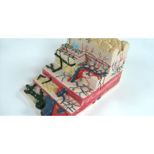 Демонстрационная модель строения стенки желудка человека