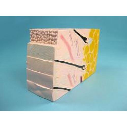 Демонстрационная модель строения кожи