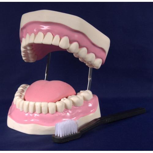 """Демонстрационная модель """"Гигиена зубов"""""""