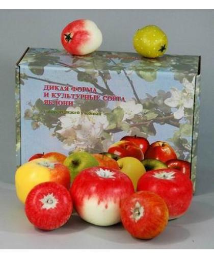 """Набор муляжей """"Дикая форма и культурные сорта яблони"""""""