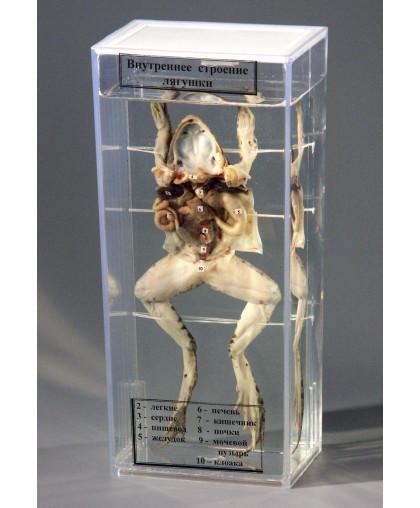 """Влажный препарат """"Внутреннее строение лягушки"""", ВЛАЖНЫЕ ПРЕПАРАТЫ купить"""